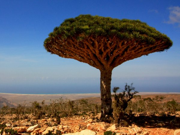 Travelcoach-Yemen-Socotra-arbre-sang-dragon